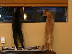 Gus and Tycho standing on a bench with their paws up on the windowsill, looking outside